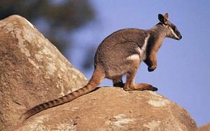 sp_yellow_footed_rock_wallaby_rocky_outcrop_800x600_42211-300x188